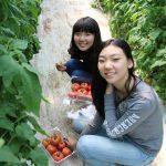 亚太国际学校的学生摘西红柿